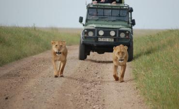 Lionnes devant le 4x4 en safari à Serengeti en safari en Tanzanie