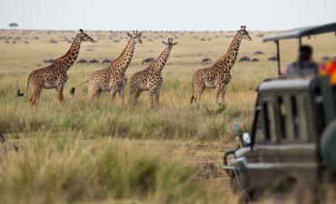 Girafe en safari à Serengeti en Afrique en voyage en Tanzanie