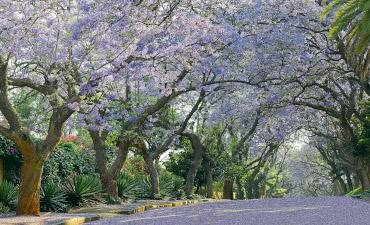 Rue avec arbres fleuris à Johannesburg en voyage en Afrique du Sud