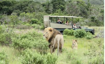 Lions dans le Safari en 4x4 dans la réserve de Karongwe en voyage en Afrique du Sud