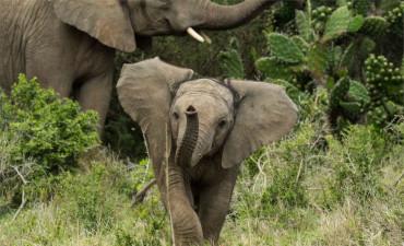 Éléphants dans le Safari en 4x4 dans la réserve de Karongwe en voyage en Afrique du Sud
