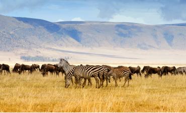 Zèbres en safari à Serengeti en Tanzanie