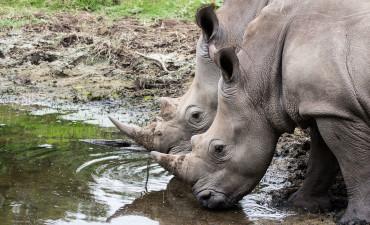 Rhinocéros en safari en 4x4 dans la réserve de Hluhluwe - Umfolozi en Afrique du Sud
